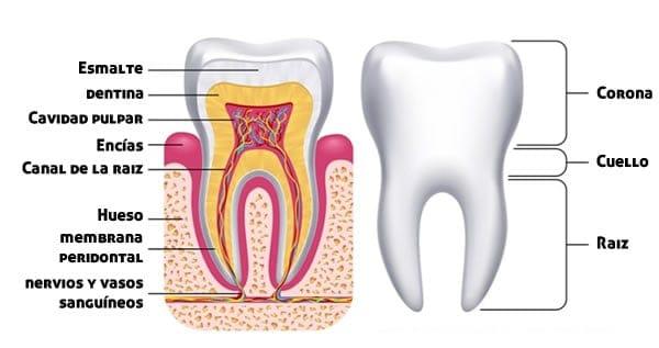 Anatomía del diente - Clínica Dental en Valencia ARTDENTA